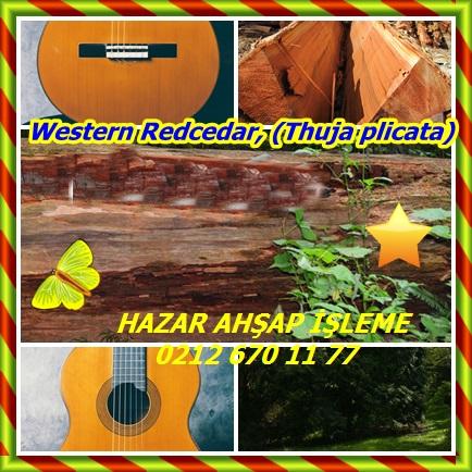 catsWestern Redcedar, (Thuja plicata)5333422
