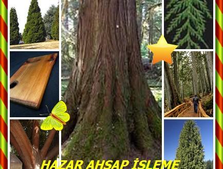 Batı Redcedar,Western Redcedar, (Thuja plicata),Batı ya da dev redcedar, dev arborvitae, shinglewood, kano sedir