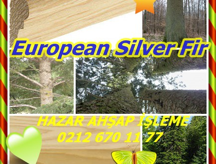 European Silver Fir,Avrupa Gümüş Köknar, (Orta Avrupa göknarı),abeto,(Abies alba)