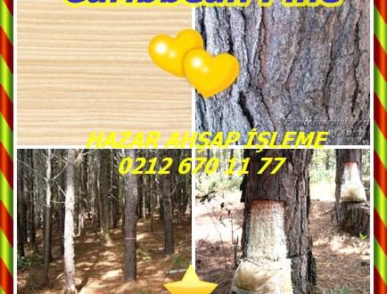Caribbean Pine,Karayip Çam, Pinus caribaea,Pino maço,Bahamalar çıralı çam, çam caribaea, Karayip çam, Honduras Karayip çam, Honduras çam, çıralı çam, güney çam