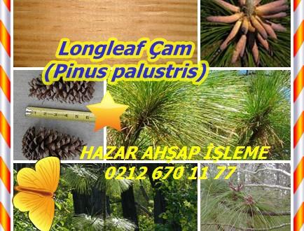 Longleaf Çam, (Pinus palustris),sarı çam Longleaf, güney sarı çam.