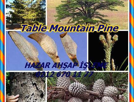 Table Mountain Pine, hickory çam,Pinus pungens,dağ çam,dikenli çam,çam sincap.