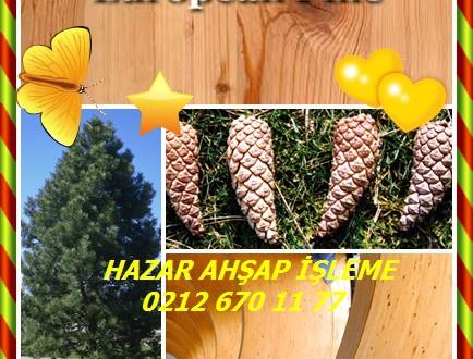 Avusturya Çam , Avrupa Karaçam,European Black Pine,(Pinus nigra)