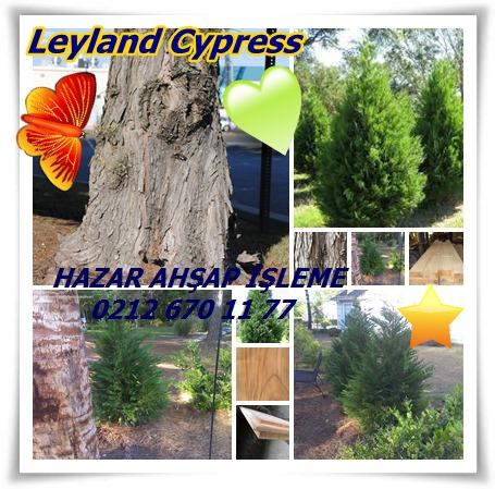 catspğLeyland Cypress