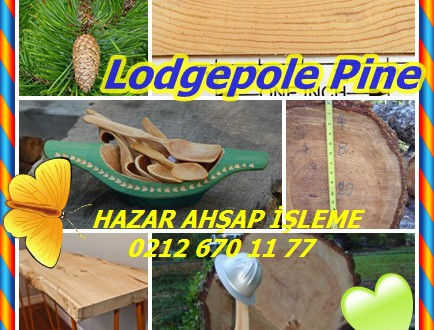 Lodgepole Pine, (Pinus contorta),Plaj Çam, Lodgepole çam, Bolander plaj çam, Plaj çam, Sierra Contorto çamı, Yukon çam, Shor
