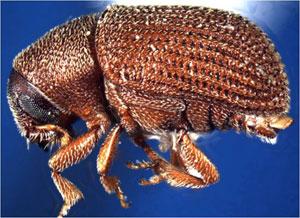 elm bark beetle