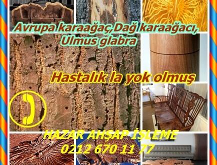 Hollandalı Elm,Avrupa karaağaç,Dağ karaağacı,Ulmus glabra