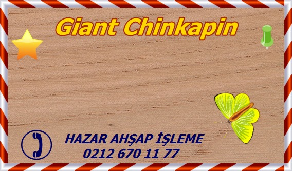 giant-chinkapin-wt