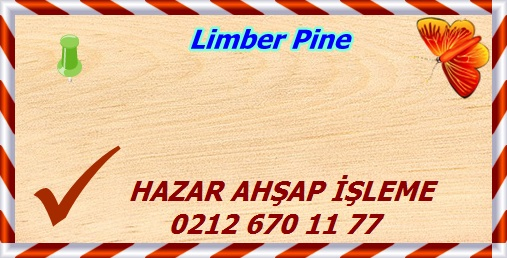 limber-pine