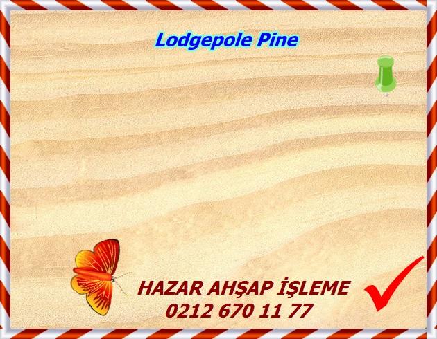lodgepole-pine-2