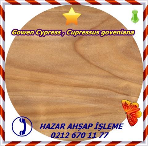 monterey-cypress