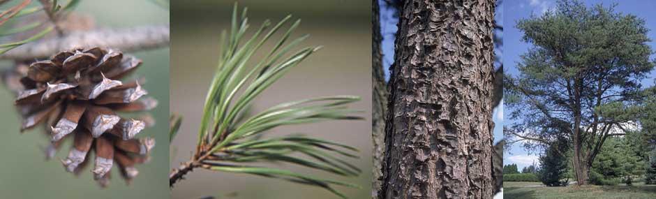 pine-Virginia