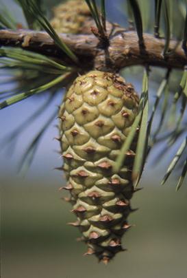 pine_virg_cn2_lg