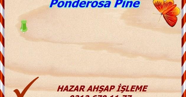 ponderosa-pine (1)