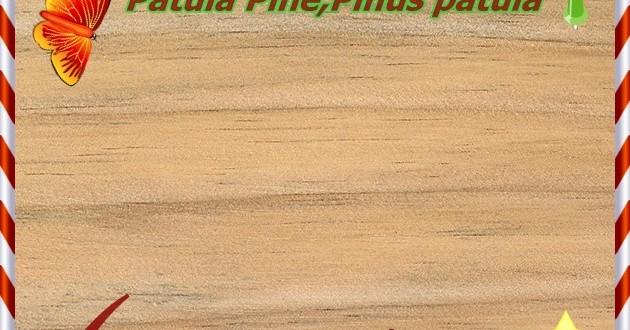 radiata-pine (1)