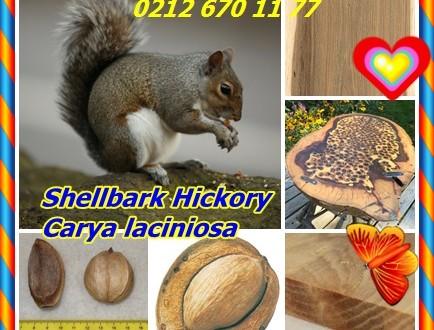 Shellbark Hickory,(Carya laciniosa),Shagbark Hickory, büyük sert Shagbark Hickory, kingnut, büyük shellbark, batı shellbark