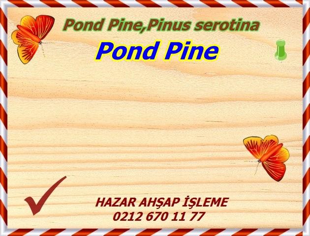 sand-pine1