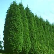 thumb_180_plant_leylandii_x_cupressocyparis_1_77