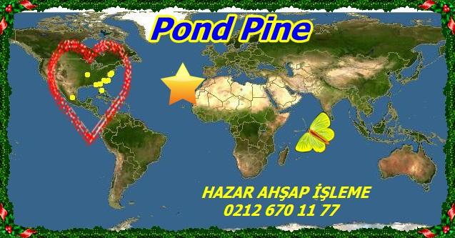 wwww_Pinus_serotinaPond Pine