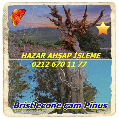 Bristlecone çam Pinus