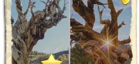 Bristlecone çam Pinus,Dünyada Eski Ağaçlar