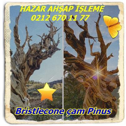 Bristleconer çam Pinus