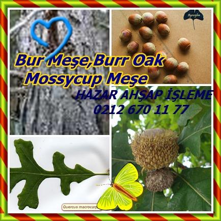 Bur Oak, Burr Oak, Mossycup Oak