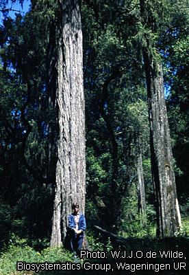Juniperus procera 6