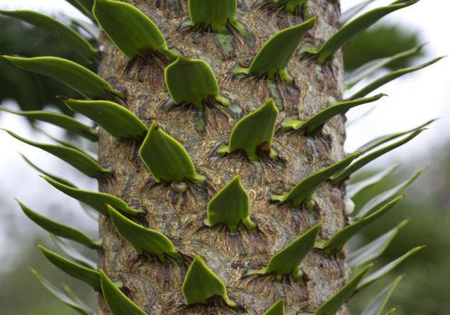 araucaria-araucana-trunk