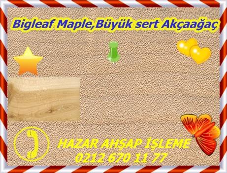 bigleaf-maple
