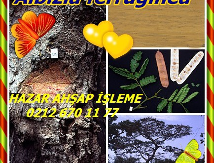 Mimosa,Silktree,Gülibrişim,Albizia julibrissin