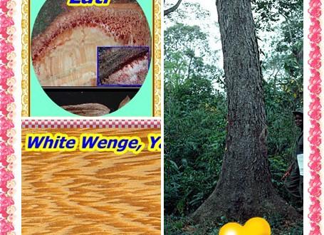 Lati, White Wenge, Yaya,Amphimas pterocarpoides