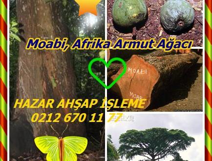 Moabi, Afrika Armut Ağacı,Baillonella toxisperma