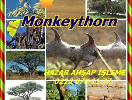 Monkeythorn ,Senegalia galpinii (syn Akasya galpinii.)