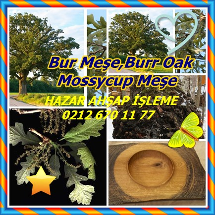 catsBur Oak, Burr Oak, Mossycup Oak