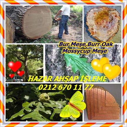 catsBur Oak,Burr OakMossycup Oak