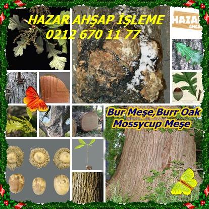 catsBurOak,BurrOak, Mossycup Oak
