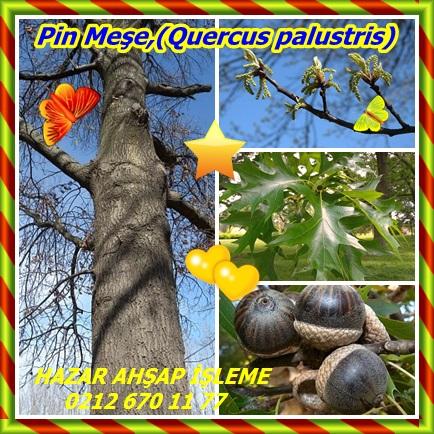 catsPin Meşe,(Quercus palustris)