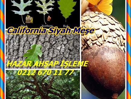 California Black Oak,California Siyah Meşe, Kellogg Meşe,Quercus kelloggii