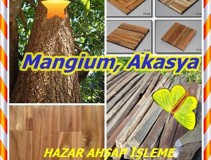 Mangium, (Akasya mangium), ceviz akasya, kahverengi salwood. siyah akasya, geniş yapraklı salwood,