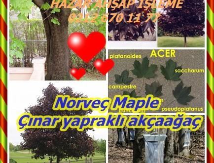 Norveç Maple ,Çınar yapraklı akçaağaç,Acer platanoides