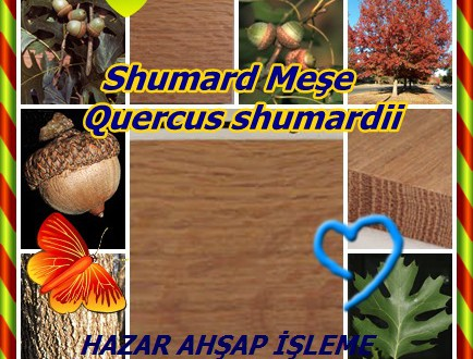 Shumard Oak, Shumard Meşe,Quercus shumardii