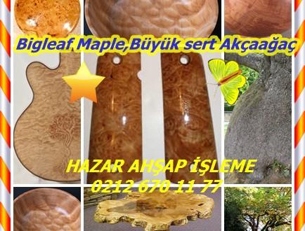 Bigleaf Maple ,Büyük sert Akçaağaç, (Acer macrophyllum)