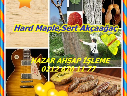 Hard Maple,Sert Akçaağaç,Sugar Maple,Maple Kaya,Acer saccharum