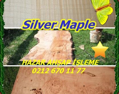 Silver Maple,Gümüş Maple,Acer saccharinum