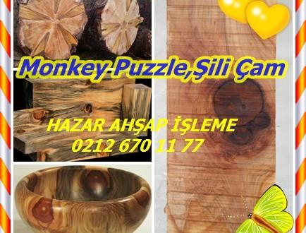 Monkey Puzzle,Şili Çam,Araucaria Araucana
