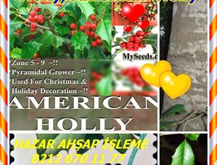 Holly, Amerikan Holly,llex opaca
