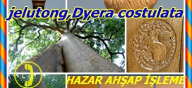 jelutong,(Dyera costulata),Borneo'da: jelutong, Pantung,yeluu-maşa, luu-maşa (MY); jelutung (İD); genç-hayvan daeng