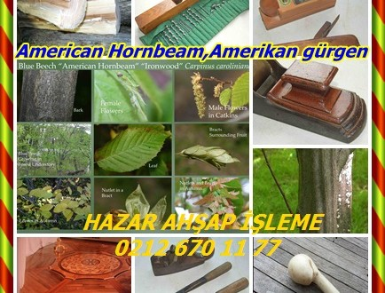 American Hornbeam,Amerikan gürgen, Mavi Kayın