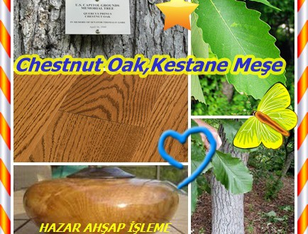 Chestnut Oak,Kestane Meşe, Quercus prinus